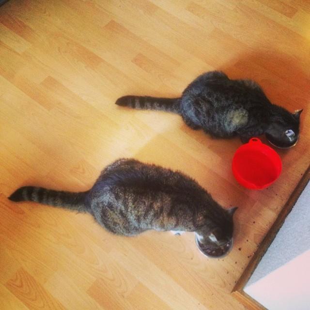 Weidende Katzen